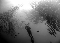 diver photographing a school of barrcuda at malpelo islan... by Ofer Ketter 
